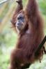 Gorilla Swinging